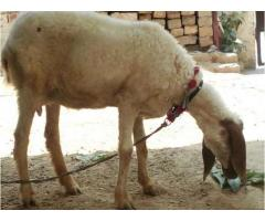 Goat with Female kid available for sale in Lahore Punjab