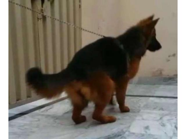 German Shepherd Female Fully Trained Dog Available For Sale