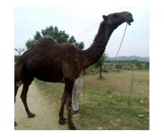 Camel Female Black Color Good Milk Average Available For Sale In Attock