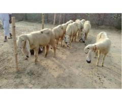 9 Kajli Sheep healthy And Active Reasonable Rate For Sale In Sialkot