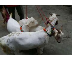 5 Goats Male For Qurbani Healthy And Vaccinated For Sale In Karachi