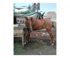 Horse (Female) Healthy Fast Running Speed For Sale In Faisalabad