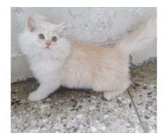 Persian Cat White Color Vaccinated Healthy Long Hair Sale In Karachi