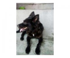 Russian Black Dog Vaccinated Healthy And Active For Sale In Gujranwala