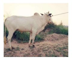 Desi Bull For Qurbani Healthy And Active For Sale In Islamabad