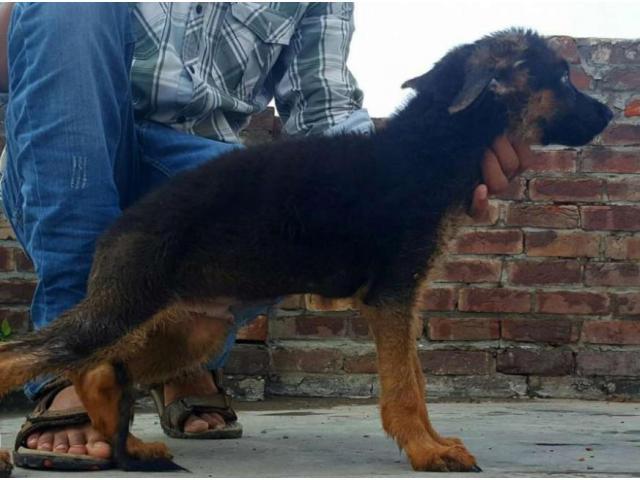 German shepherd Puppy Heavy bone Vaccinated For Sale In