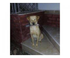 Labrador Dog Golden Color 1 Year Age Vaccinated For Sale In Islamabad