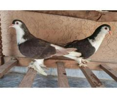 Fancy Pigeons Sherazi And King Breeder Are Available For Sale in Rawalpindi