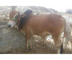 Qurbani Bull Brown Color Having Two Teeth For Sale in Karachi