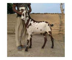 Goats Are Ready For Qurbani Negotiable Prices Visit Our Form House Lahore