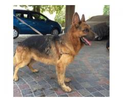 Pair Of German Shepherd Dogs Fully Vaccinated 2 Years Age for Sale In Lahore