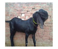Black Bakra Very Beautiful Ready For Qurbani Sale In Lahore