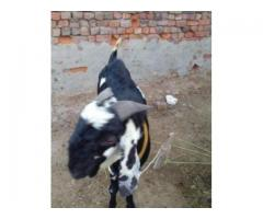 Two Bakry Ready For Qurbani Price Is Negotiable Urgent Sale In Sargodha