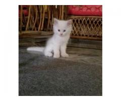 Persian Kitten White Color 40 Days Age Vaccinated For Sale In Islamabad