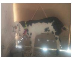 White And Black Bakra For Qurbani Ready For Sale In Rawalpindi
