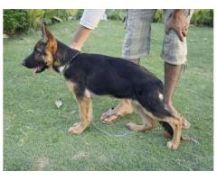 Female German Shepherded Dog Vaccination done Available For Sale In Lahore