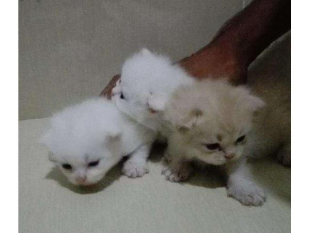 Three Persian Cats 1 Male And 2 Female Available For Sale In Multan