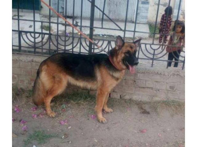 German Shepherd Dog 18 Month Age Vaccinated Available For