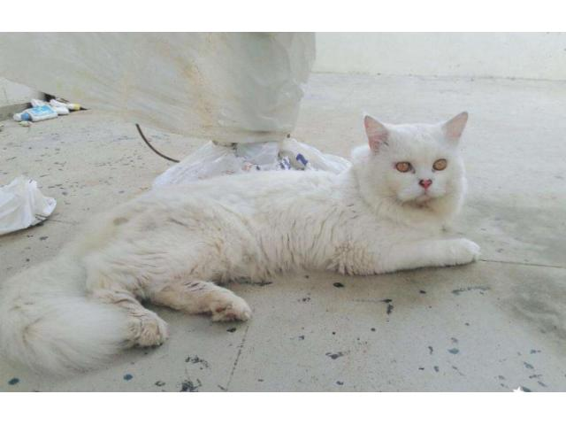 Persian Cat (Male) 4 Years Age White Color Urgent Sale in Karachi