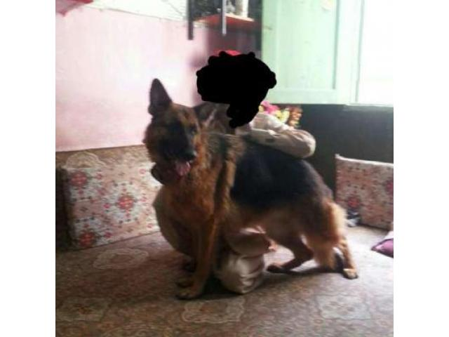 German Shepherd Dog Healthy And Active Available For Sale In