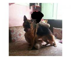 German Shepherd Dog Healthy And Active Available For Sale In Islamabad