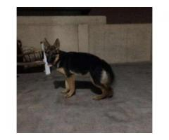 German Shepherd Pedigree 6 Month Age Vaccinated For Sale in Lahore