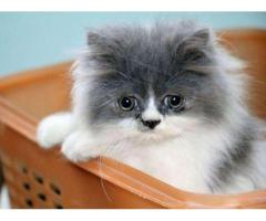 Pure Persian Cat Long And Smooth Hair Fully Vaccinated For Sale in Islamabad