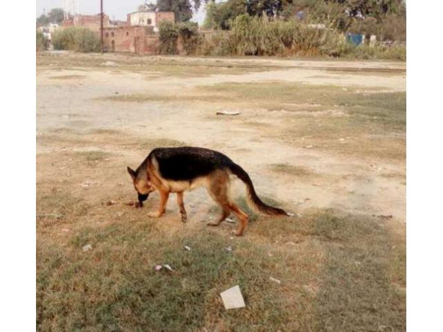 Female German Shepherd 12 Month Fully Vaccinated for Sale In