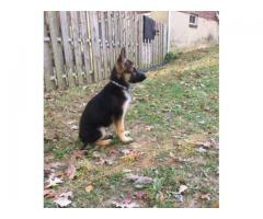 German Shepherd Dog Healthy and Vaccinated For Sale In Kasur