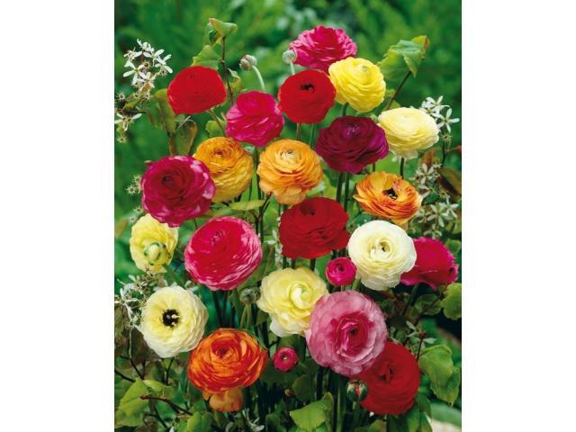 Ranunculus Mixed Flower, rose plants, seeds spring plants for garden