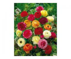 Ranunculus Mixed Flower, rose plants, seeds spring plants for garden