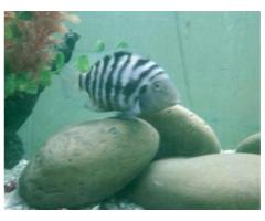 Convicts Fishes 2 Females and Male Negotiable Price For Sale in Karachi