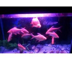 Oscar And Tin Foil Pair Of Fishes Reasonable Prices For Sale In Karachi