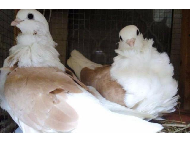 Chinese Owl Pigeon White Color Very Beautiful For Sale In Lahore