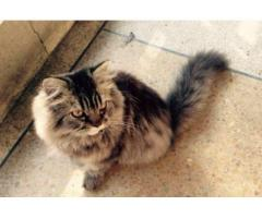 Persian Kitten Female Healthy and Fully Trained For Sale In Lahore