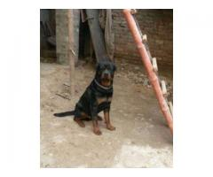 Pair of Pedigree Breeder 28 Month Age Vaccinated And Trained Sale In Lahore