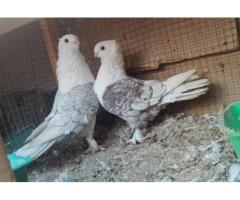 Healthy Pair Of Pigeon Very Beautiful Available For Sale In Lahore