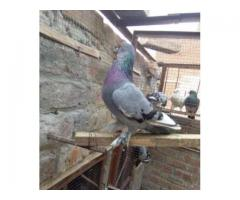 35 Beautiful Pigeon Healthy And Active Available For Sale in Lahore