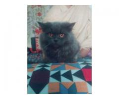 Persian Black Cat Pair Potty Trained Long Hair For Sale In Multan