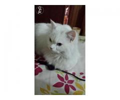 cat persian female white