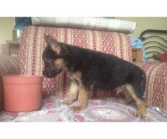 Premium quality German Shepherd Puppy for sale