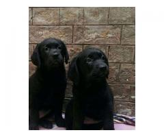 Labrador Female Puppies For Sale.