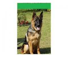 Pedigreed German Shepherd puppy for sale
