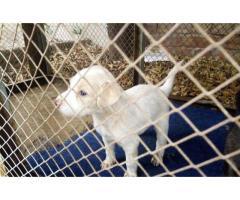 Nobel Russian pups for sale in good hands