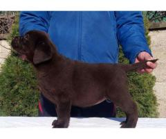 Chocolate pups micro chip. for sale in good hands