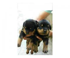 Rottweiler female pupps for sale