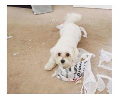 Show quality imported female MALTESE 6 months old dog available