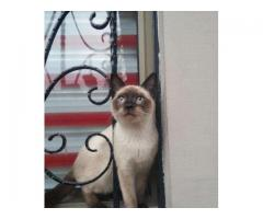 7 month old Purebreed Siamese Kitten for sale