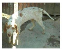 Young pointer mix breed for sale