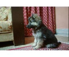 German shepherd female for sale in good hands